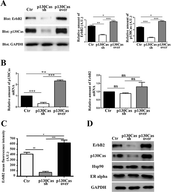 Modulation of p130Cas expression specifically affects ErbB2 expression.