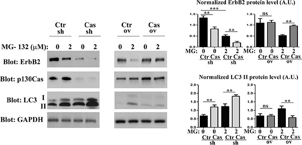 p130Cas expression prevents proteosome-independent ErbB2 degradation.