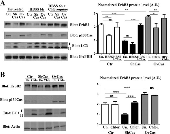 p130Cas protects ErbB2 from autophagy-dependent degradation.