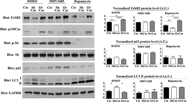Inhibition of autophagy is sufficient to rescue p130Cas-dependent ErbB2 expression.