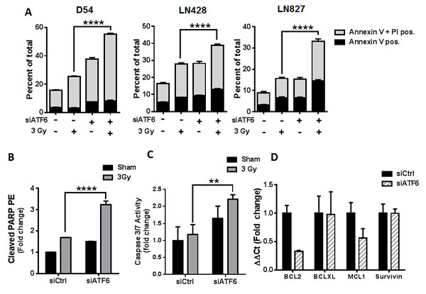 Knockdown of ATF6 enhances radiation-induced cell death in glioblastoma.