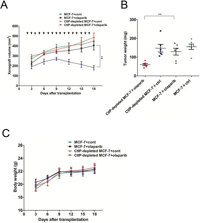 AZD2281 treatment decreased growth of MCF7 xenograft tumor.