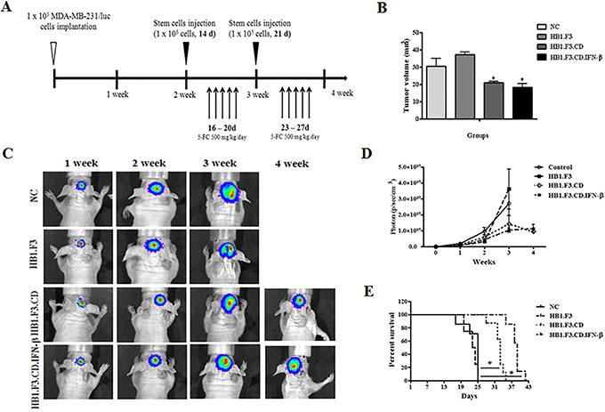 Mouse model for breast cancer metastasis to brain and therapeutic effect of stem cells expressing therapeutic genes, cytosine deaminase (CD) and/or interferon-beta (IFN-β).