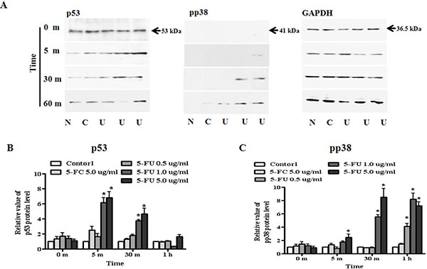 Regulation of transcriptional factor, p53 and pp38 in MDA-MB-231 cells.