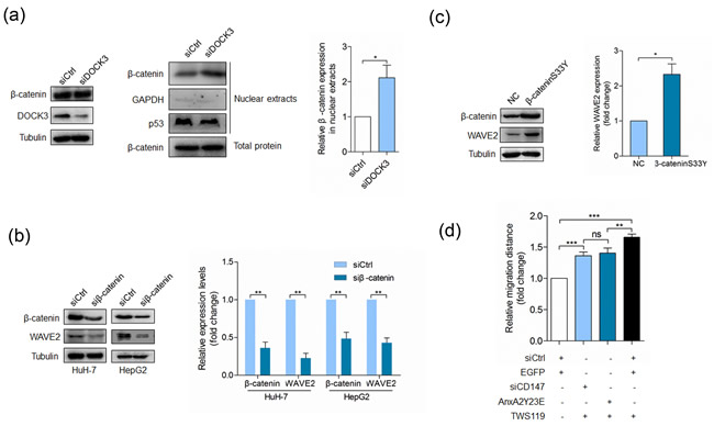 DOCK3 inhibits WAVE2 expression as a negative regulator of β-catenin signaling.