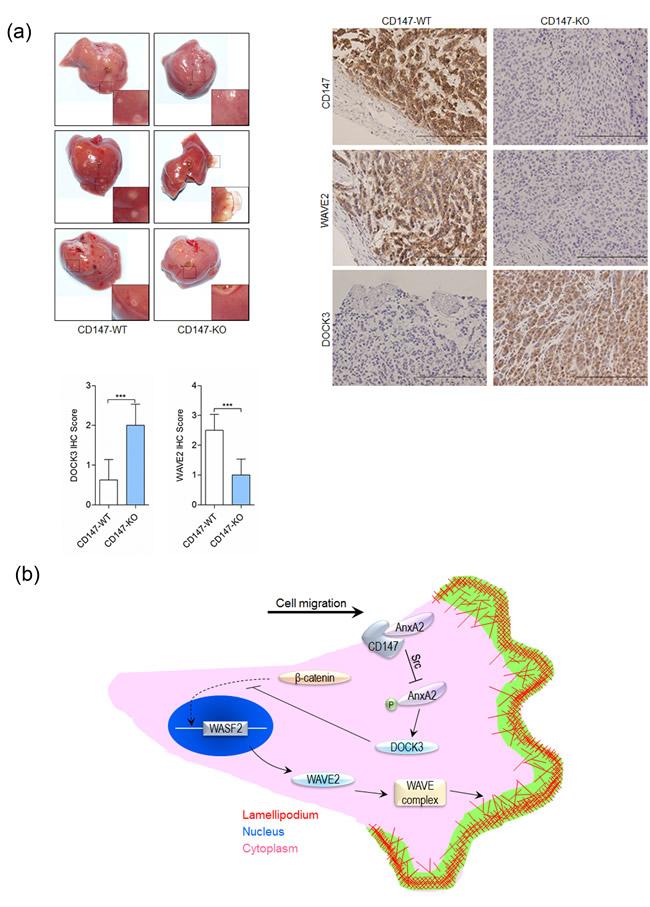 CD147 promotes cancer metastasis.