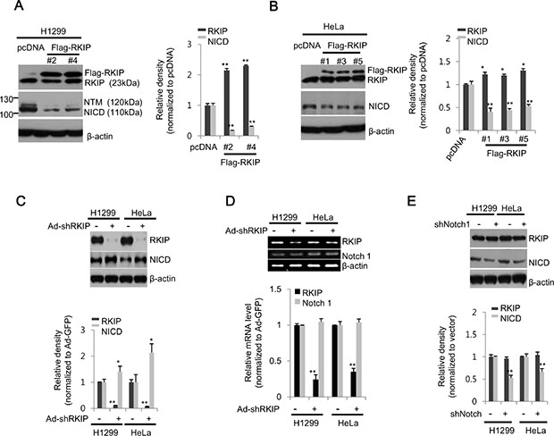 RKIP negatively regulates Notch1 activation in lung and cervical cancer cell lines.