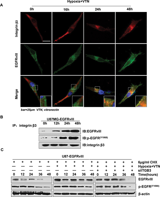 Integrin β3 associated with EGFRvIII and prevented its downregulation.