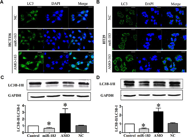 miR-183 affected autophagic activity in colon cancer cells.
