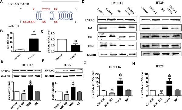miR-183 affected UVRAG expression levels.