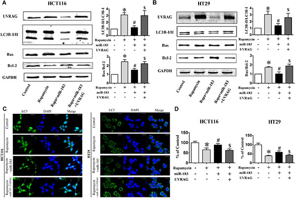 Over-expression of UVRAG rescued cells from miR-183-mediated autophagy inhibition.