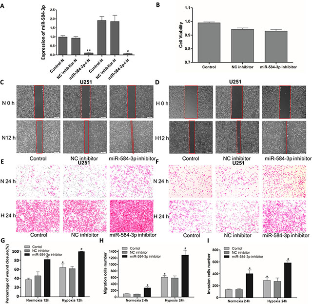 miR-584-3p knockdown enhanced the migratory and invasive capacities of human glioma cells, as shown by wound-healing and Transwell assays.
