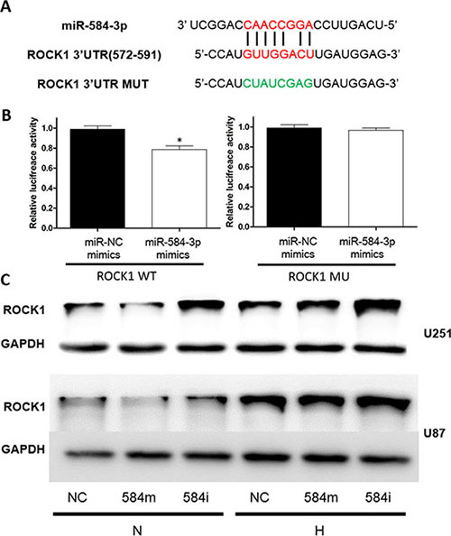 ROCK1 is a target gene of miR-584-3p.