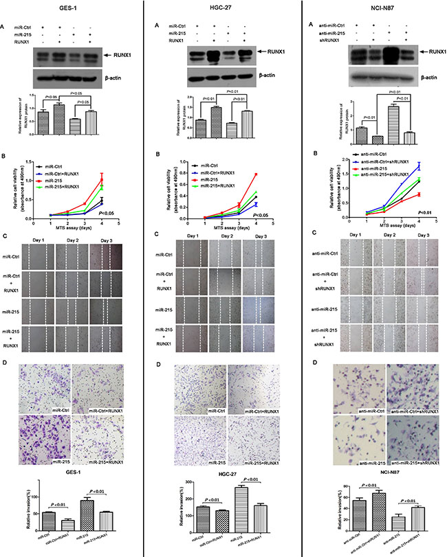 RUNX1 can reverse partial functions of miR-215 in vitro.