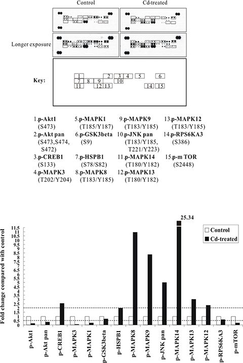 The p38 MAPK/JNK (MAPK14 or MAPK8/9) signaling pathways are strongly activated by Cd treatment in BEAS-2B cells.