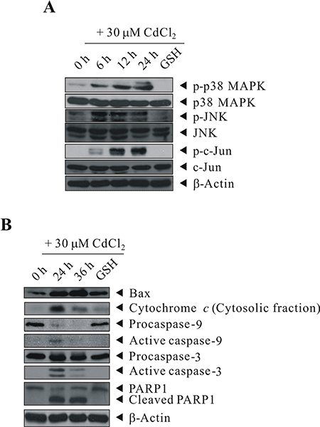 GSH inhibited the activation of Cd-induced p38 MAPK/JNK pathways and proteins involved in apoptosis signaling.