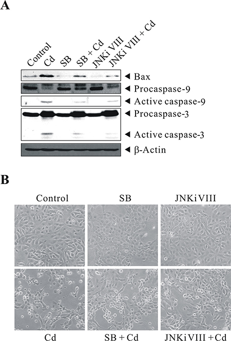 Cd-induced p38/JNK activity correlates with cell death.