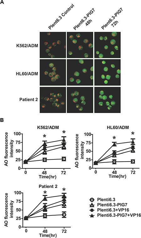 Overexpression of pig7 induces LMP.