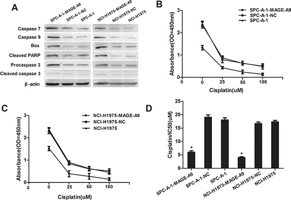 MAGE-A9 expression and apoptosis in vitro.