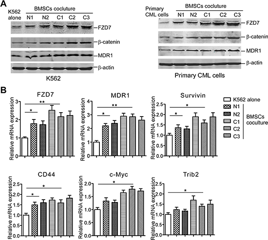 BMSCs induce FZD7 expression along with β-catenin, and Wnt downstream moleculars in co-cultured CML cells.