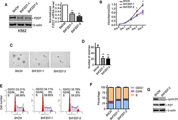 Down-regulation of FZD7 suppressed proliferation of K562 cells.