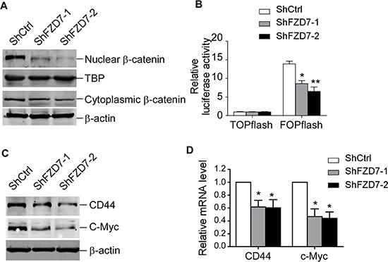 FZD7 knockdown inhibits Wnt/β-catenin signaling pathway.