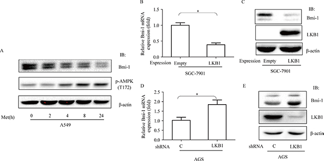 Effects of metformin and LKB1 on regulation of Bmi-1 expression.