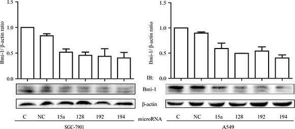 Inhibitory effect of miRNAs on Bmi-1 expression.