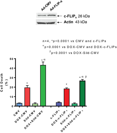 Figure 3. Overexpression of FLIP-s abolished synergistic effect of sildenafil and DOX co-treatment on DU145 cells.