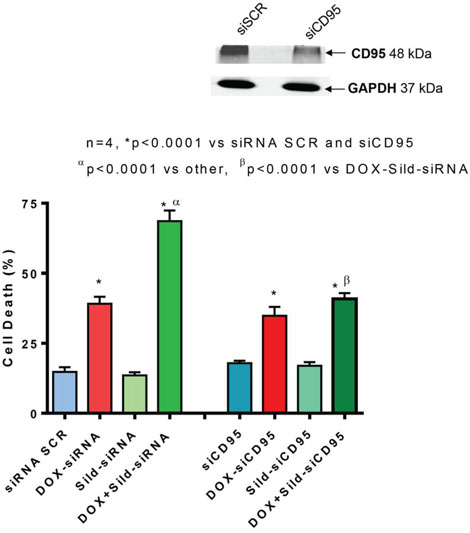 Figure 5. Knock-down of CD95 abolishes sildenafil and DOX-induced toxicity in DU145 cells.