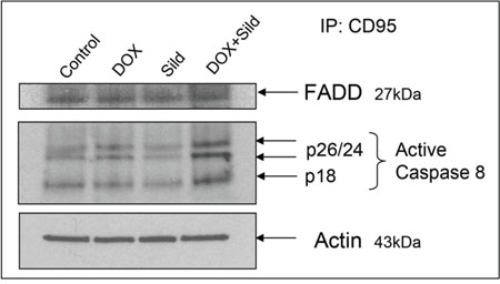 Figure 6. Sildenafil and DOX co-treatment increases recruitment of FADD with CD95 in DISC formation and activates caspase-8.