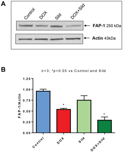Figure 7. Sildenafil and DOX co-treatment reduces FAP-1 expression in DU 145 cells.