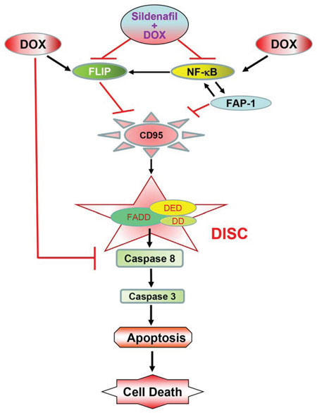 Figure 9. The proposed mechanism by which sildenafil potentiates the cytotoxicity of DOX in prostate cancer.