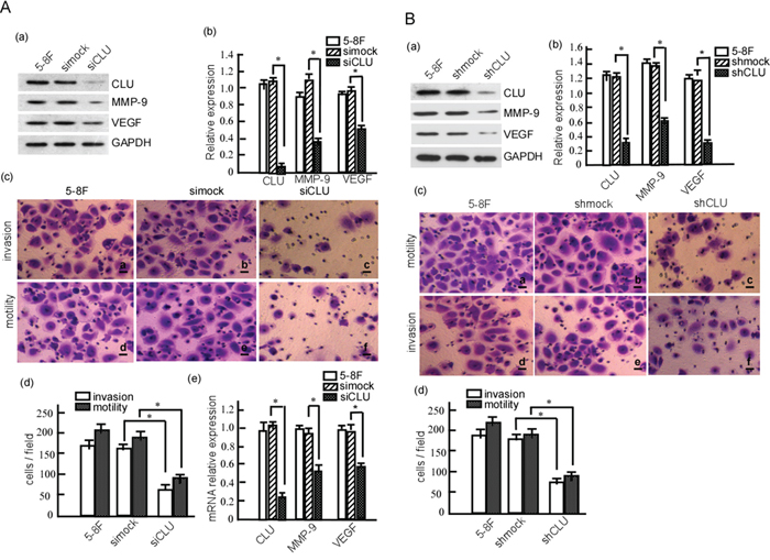 CLU knockdown reduces the invasion and metastasis of 5-8F cell.