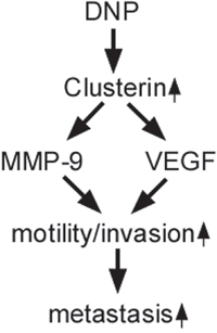 Schematic illustration of DNP-promoted nasopharyngeal carcinoma metastasis through CLU