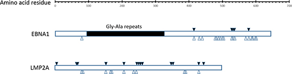 Amino acid changes in CD8+ and CD4+ specific T cell epitopes in EBNA1 and LMP2A.