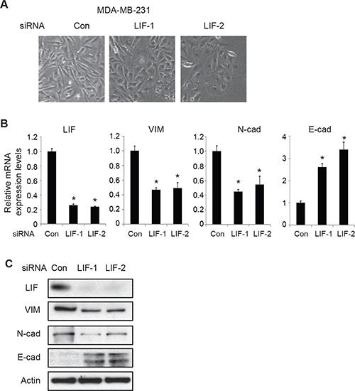 Knockdown of endogenous LIF reverses EMT in MDA-MB-231 cells.