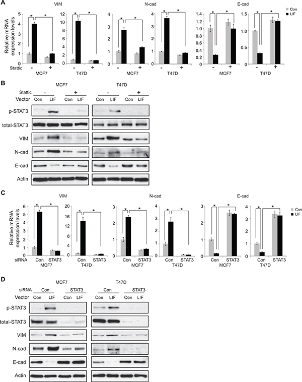 STAT3 mediates the promoting effect of LIF on EMT in MCF7 and T47D cells.