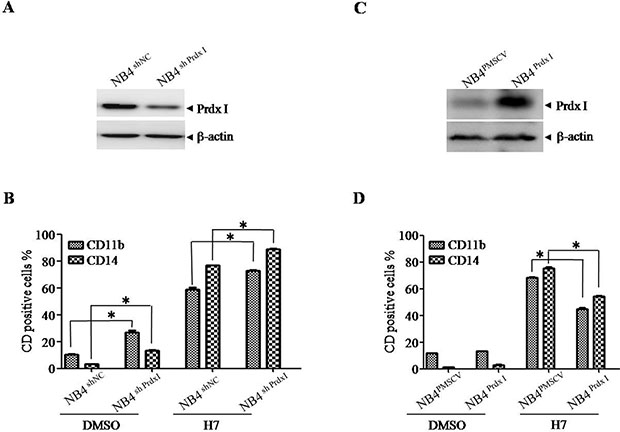 Knockdown or overexpression of Prdx I increases or decreases H7-induced cell differentiation.