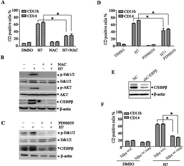H7 induces monocyte differentiation via ROS-C/EBPβ axis in NB4 cells. (A–B)