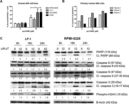 Pharmacological inhibition of the APC/C with proTAME induces apoptosis in MM cells.