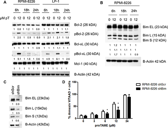 proTAME treatment induces Bim and phosphorylation of Bcl-2 and Bcl-xL.