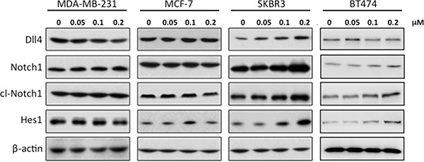 Treatment of SKBR3 cells with RY10-4 leads to increased levels of proteins involved in Notch signaling.