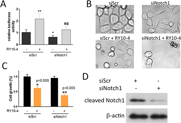 Notch-1 siRNA prevents RY10-4-induced activation of the Notch signaling pathway and causes RY10-4-induced cell death in SKBR3 cells.