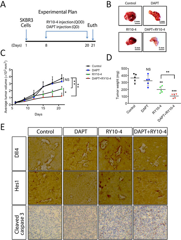 DAPT and RY10-4 inhibit the growth of SKBR3 xenografts.