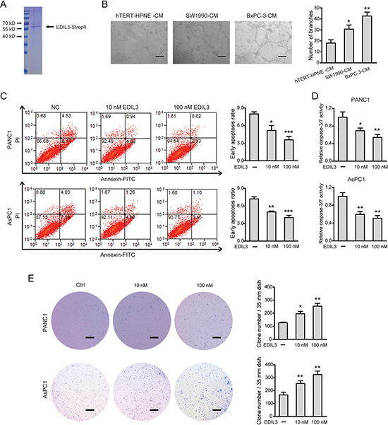 EDIL3 stimulation inhibits anoikis and promotes anchorage-independent tumor growth in PDAC cells.