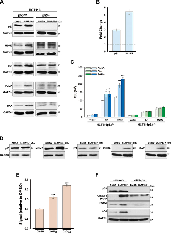SLMP53-1 reactivates the transcriptional activity of wt p53 in HCT116p53+/+ cells and mut p53R280K, through reestablishment of its DNA binding ability, in MDA-MB-231 cells.