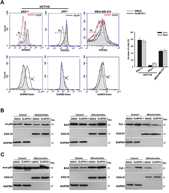 SLMP53-1 triggers a p53-mediated mitochondrial apoptotic pathway in HCT116p53+/+ and MDA-MB-231 cells.