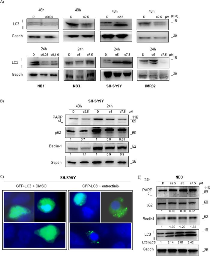 Entrectinib causes autophagy activation in ALK mutated NB cells.
