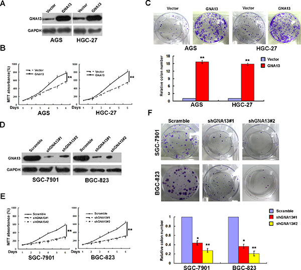 GNA13 promotes human GC cell growth and proliferation in vitro.